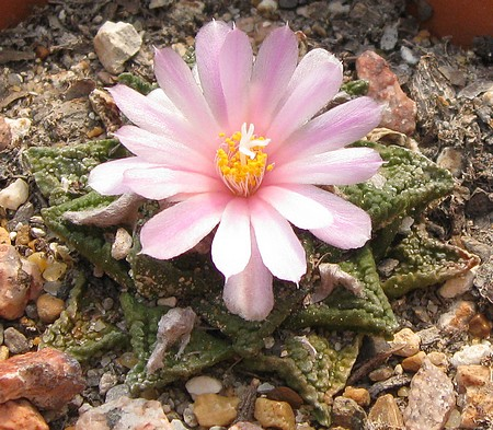 [Living Rock Cactus Bloom]