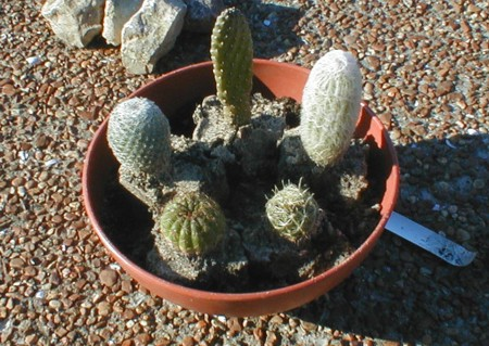 CactusMuseumcom Mini Desert Garden How to build a Cactus Dish
